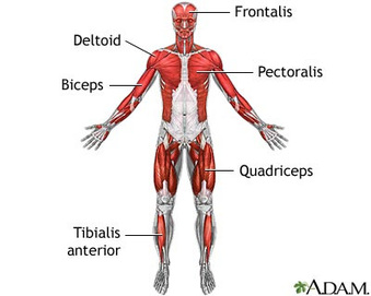 diagram - muscular system, Muscles